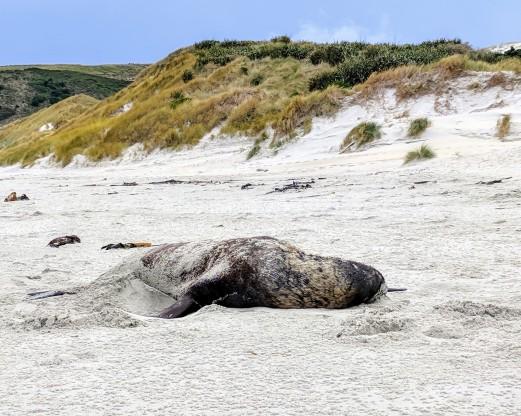 Seal on the beaches of Dunedin